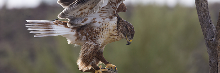 Hawk flying